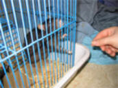 Baum's-Rat in cage