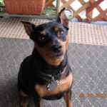 Among our pet eulogies Tandie Apple, beloved Min Pin dog, receives a most loving and creative tribute from her human family, in the form of a beautiful poem