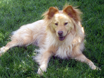 Pet parents sent a beautful photo as a pet dog tribute to their collie mix dog, Grinley