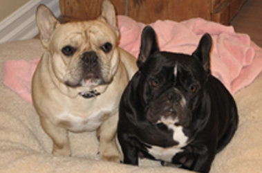 Dr. Baum's loves his family - of Frenchies - just like the humans. See pet photos of Fessie, Gadi, Laila - dog show winner extraordinaire, Boker, and more.