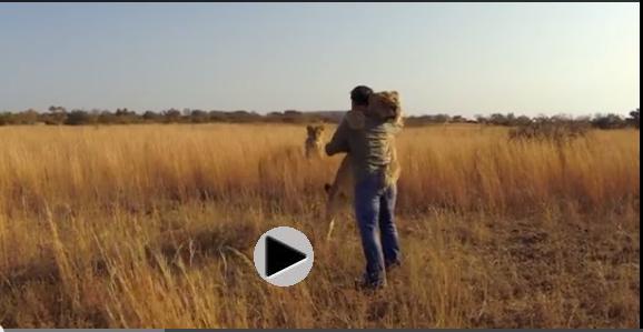 Lion hugs rescuer as a lion friend looks on