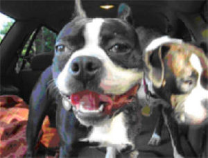 Mingus and Freya boxer dog