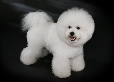 "Dr. Carrillo Testimonial CSAH- Photo Bichon Frise - though not Poppy, this beauty is the same breed. Thanks to photographer Heike Andres. ""Bichon Frisé - studdogbichon"" by Heike Andres - Own work. Licensed under CC BY-SA 3.0 de via Wikimedia Commons - https://commons.wikimedia.org/wiki/File:Bichon_Fris%C3%A9_-_studdogbichon.jpg#/media/File:Bichon_Fris%C3%A9_-_studdogbichon.jpg"