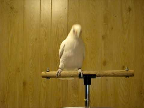 Frostie Bird Dancing to Shake Your Tail Feather. ©Karla K. Larsson. A bird who loves to perform, and isn't being mistreated, so we're pleased to share this video!