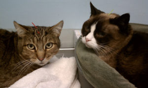 Dr. Horn treats cats with acupuncture as well as other pets. Here, Cat siblings relaxing during an acupuncture treatment.