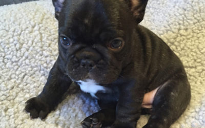 Dr. B's great-great-great-great granddaughter Laila has puppies! Video of Center-Sinai Animal Hospital staff welcoming French Bulldog pups in their first out of mom's body experience