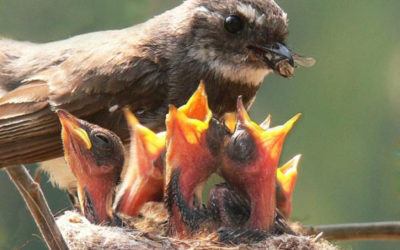 Dr. Spira, Can you tell me about birds who are expecting chicks?