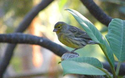 Birds - Canary health care tips